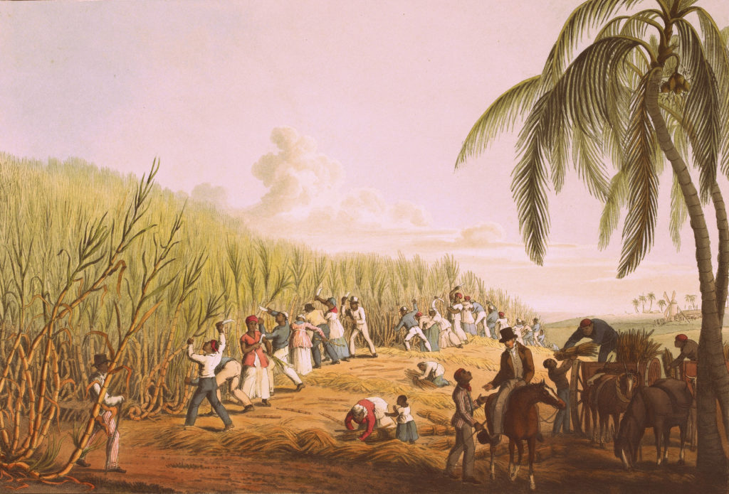 Slaves Cutting Sugar Cane in Antigua