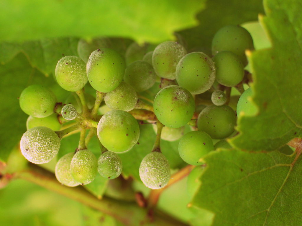 Grapes affected by Powdery Mildew